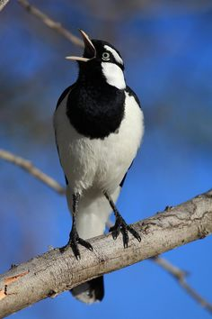 Magpie-lark; Scientific name: Grallina cyanoleuca The magpie-lark is a conspicuous Australian bird of small to medium size, also known as the mudlark in Victoria and Western Australia, the Murray magpie in South Australia, and as the peewee in New South Wales and Queensland.