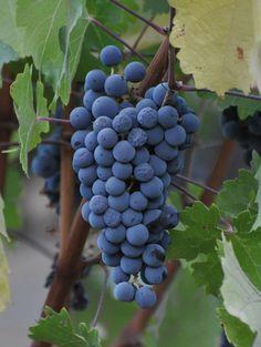 Cabernet Sauvignon Grapes from St. Helena, CA