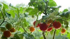 Pestujete rajčiny? Listy vylamujte po prvý strapec