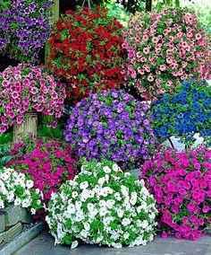 beautiful Petunia in 6 Varieties mix at Bakker Spalding