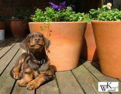 #Dobermanpinscher #Doberman #puppy