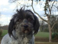 Meet Candy, an adoptable Havanese looking for a forever home. If you're looking for a new pet to adopt or want information on how to get involved with adoptable pets, Petfinder.com is a great resource.