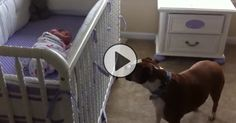 Watch this boxer's AMAZING reaction to meeting his new baby sister! No one expected what happens at 0:30!
