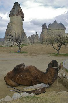 Camels in Capadocia,  Turkey