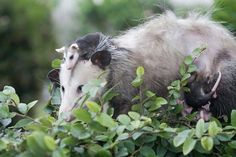 Tiny opossum hitches a ride.