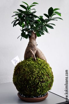 Kokedama Ficus, String Garden, Bonsai Ficus, Moss Ball, Perla di Muschio, Wall flower