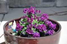 Purple verbena in front of house on 06/04/2014.