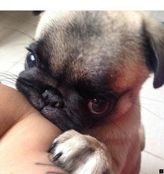Wub me 🥺 We love you ❤️ The one and only Pug-exclusive magazine. Shop our pug designs now! Cute Baby Animals, Funny Animals, Animals Dog, Baby Pugs, Pug Puppies, Terrier Puppies, Boston Terrier, Pug Love, Cute Dogs