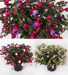 Lilliputtiverenpisara-lajitelma