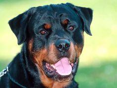 Dillon-Rottweiler.jpg (1600×1200)