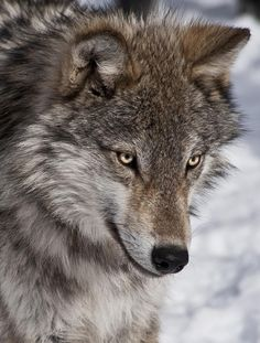 """beautiful-wildlife: """" Wolf Portrait by Patrick Boening """" Wolf Photos, Wolf Pictures, Animal Pictures, Wolf Spirit, Spirit Animal, Beautiful Creatures, Animals Beautiful, Tier Wolf, Malamute"""