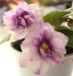 African Violet PLANT Golden Dawn darling semi