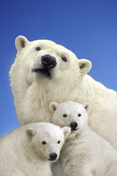 ¡Que bonita familia de osos blancos!
