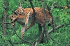 Google Image Result for http://stylefrizz.com/img/two-wild-cats-in-a-tree-l.jpg