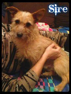 ¡ADOPTADO! Sire, #perrito casero que se encontró vagando por la calle por fin ha encontrado un hogar definitivo.