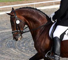 dressage horse head shot | neulands's most interesting Flickr photos | Picssr