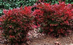 Gulf Stream Nandina - Nandina domestica 'Gulf Stream' - different varieties of nandina