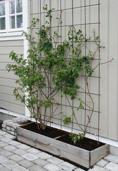Privacy Plants, Garden Privacy, Balcony Plants, Bamboo Trellis, Garden Trellis, Summer House Garden, Home And Garden, Big Leaf Plants, Jungle Gardens