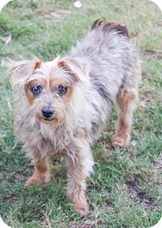 Dachshund Yorkie Yorkshire Terrier Mix Dog For Adoption In Austin Texas Yorkshireterrier Yorkie Yorkshire Terrier Terrier Mix Dogs