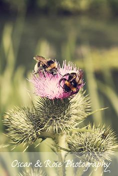 thistle bees..Love that Scottish Thistle except it'll take over if you don't control it.