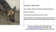 HESPERIA, DANGEROUS SHELTER. APR 15 INTAKE, TOO LONG. GSDS DO NOT SHELTER WELL. SHE NEEDS OUT.
