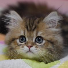 Absolutely Adorable Kitten Photos So youve made the Beautiful Kittens, Kittens And Puppies, Cute Cats And Kittens, Pretty Cats, Baby Cats, Kittens Cutest, Animals Beautiful, Baby Kitty, Sleepy Kitty