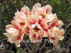 "Rosy Adenium Obesum (Desert Rose) ""SUN HALO"" Grafted Plant in Home & Garden,Yard, Garden & Outdoor Living,Plants, Seeds & Bulbs | eBay"
