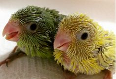 Your baby's photos aren't as cute as these parrots' baby photos. (I'm especially partial to the last photo because I am a parrotlet parent...her name is Trixie!)