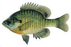Find all about aquaponics crappies fish here, for DIY aquaponics system check here    Aquaponics supplies http://www.aquaponics4you.com/?hop=rwentwort1