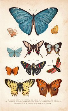 1891 Butterflies Antique Chromolithograph, Entomology