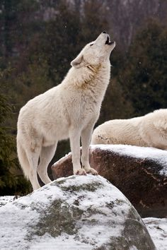 Winter is one of the best times to hear our Arctic wolves howl. One wolf starts, and the others join in as a chorus which strengthens their bond between pack-mates.