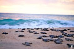 watching baby sea turtles hatch and make their way to sea
