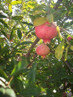 Pomegranates, Cyprus