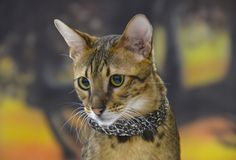 Savannah #cat