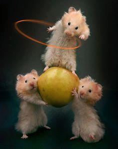 Golden hamster circus act hoolahoop