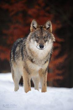 The gray wolf - Photography by Jiri Michal www.jmichal.cz #greywolf #wolf#animals