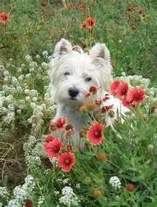 Westie in field of flowers ...........click here to find out more http://googydog.com