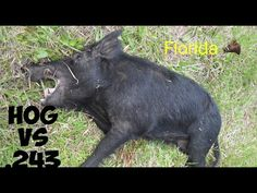 Wild Hog/ Boar hunting with Rem 243 bolt action rifle. Florida - YouTube Boar Hunting, Bolt Action Rifle, Shots, Florida, Horses, Youtube, Animals, Animales, Animaux
