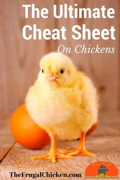 The Ultimate Cheat Sheet on Chickens will get you started off on the right foot with your backyard flock.