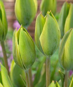 Tulip 'Evergreen'