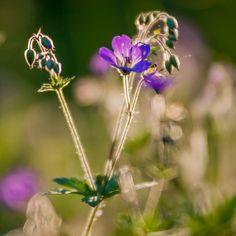 Geranium - Kurjenpolvi by Pauliina Kuikka on YouPic Nikon D700, Macro Shots, Geraniums, Dandelion, Nature, Flowers, Plants, Naturaleza, Dandelions