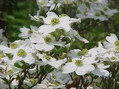Cornus florida Common Name: flowering dogwood Type: Tree Family: Cornaceae Native Range: Eastern North America Zone: 5 to 9 Height: 15.00 to 30.00 feet Spread: 15.00 to 30.00 feet Bloom Time: April to May Bloom Description: White (bracts) Sun: Full sun to part shade Water: Medium Maintenance: Medium Suggested Use: Flowering Tree