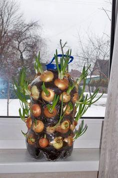 Altijd verse lenteuitjes bij de hand! Een super-efficiënte manier om heel veel uien te kweken, simpel op je vensterbank. Benodigd: een berg plantuitjes en een lege plastic waterfles.