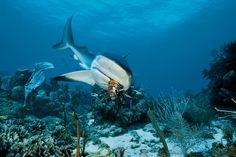 Un requin de récif des Caraïbes