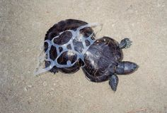 These animals became entangled in plastic six-pack rings, causing their bodies to deform as they grew around the rubbish.