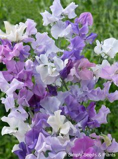 Sweet pea, Blue Skies..........always loved these.....