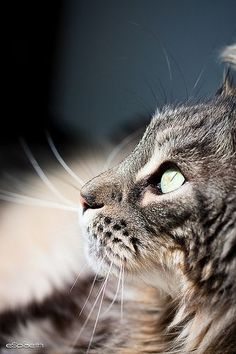 Maine Coon| Beautiful cats; I would love to have one someday.