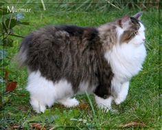 Cats breeds – Kurilian bobtail I Love Cats, Crazy Cats, Crazy Cat Lady, Pretty Cats, Beautiful Cats, Animals Beautiful, Bobtail Cat, Right Meow, Cats 101
