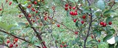 PlantFiles Pictures: Goumi 'Sweet Scarlet' (Elaeagnus multiflora) by passiflora_pink Famous Daves, Zone 5, Small Trees, Garden Plants, Seeds, Landscape, Pink, Pictures, Scarlet
