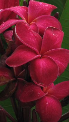 Plumeria - love these dark pink ones.  But they don't bloom as much as the other varieties which is why I've given up on this color.